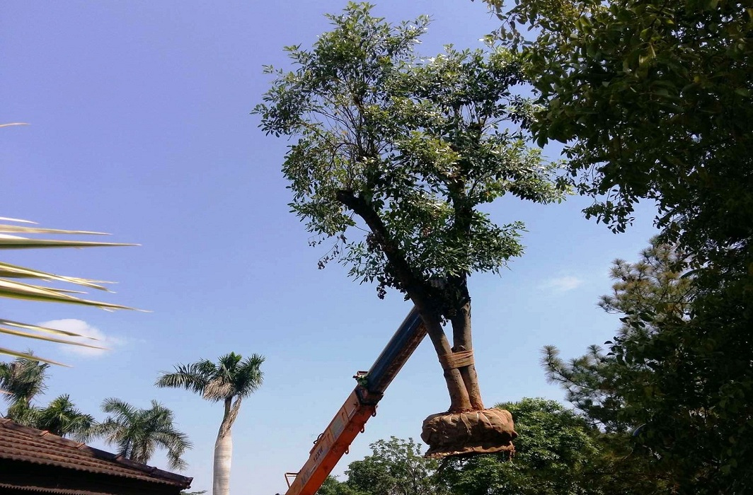 Transplantation of trees needs expertise, especially root ball excavation/Photo: justdial.com