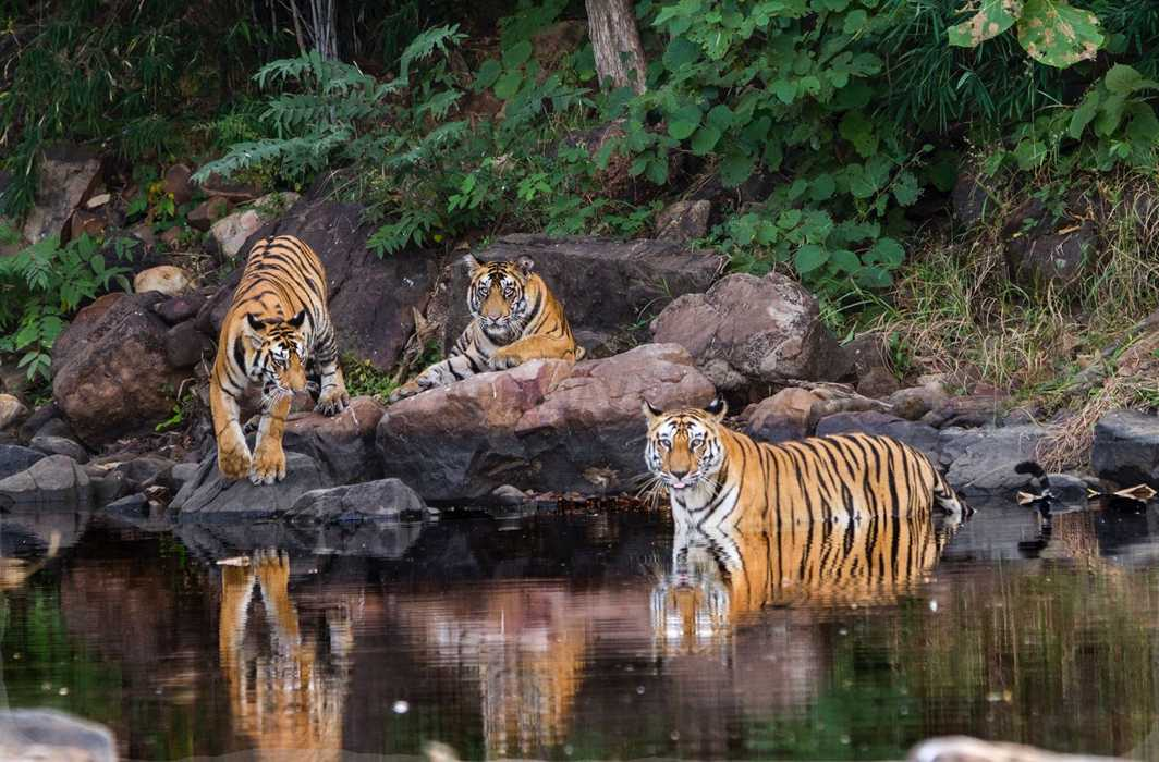 A Wildlife Institute of India study found the Panna Tiger Reserve has as many as 23 tigers/Photo: facebook