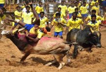 Jallikattu: symptom of cultural pathology