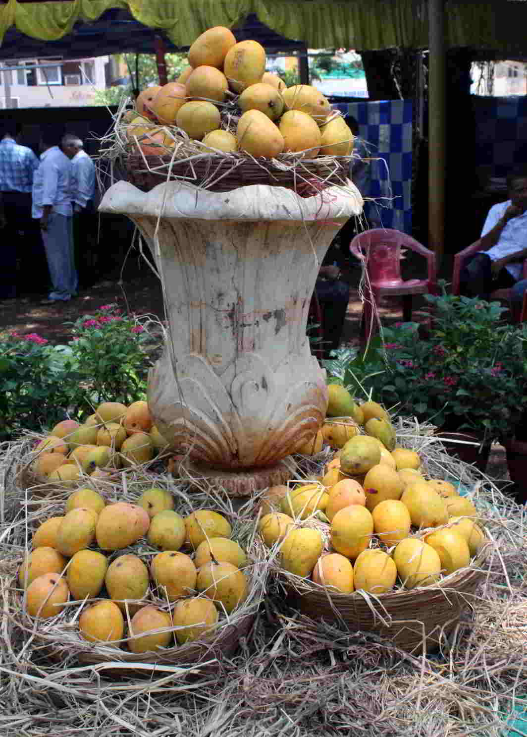 DELICIOUS TREAT: Alphonso mangoes displayed at the inauguration of a seven-day exhibition and sale in Belagavi, UNI