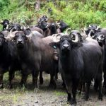 Centre reconsiders ban on sale of cattle for slaughter