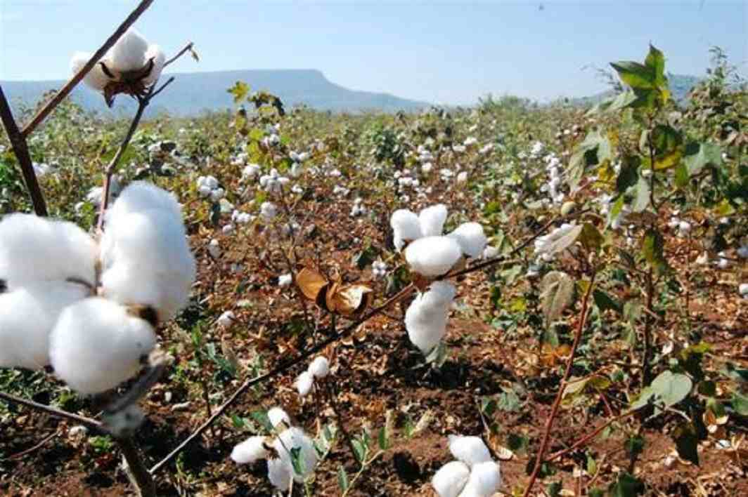 Study points to quality issues in Bt Cotton seeds