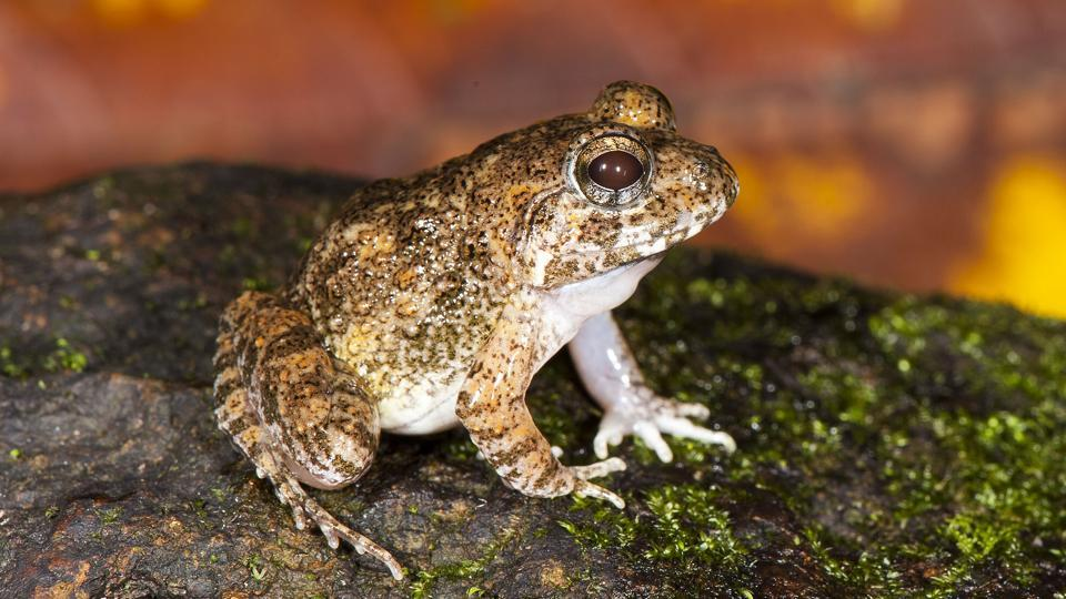 Discovery of four new frog species re-affirms the biodiversity of the Western Ghats