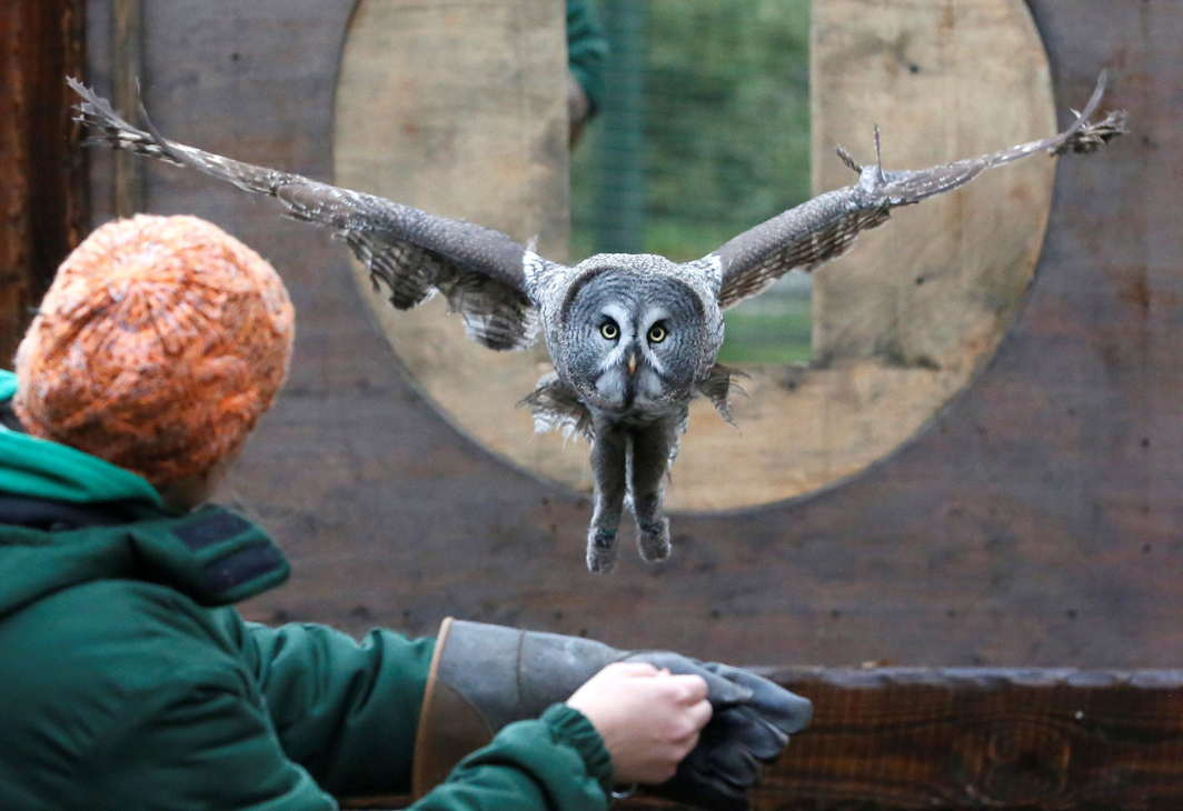 ENTER HEDWIG: Mykh, a 1.5-year-old great gray owl, flies through a window during a training session which is a part of Royev Ruchey Zoo's programme of taming wild animals for research, education and interaction with visitors, in a suburb of the Siberian city of Krasnoyarsk, Russia, Reuters/UNI