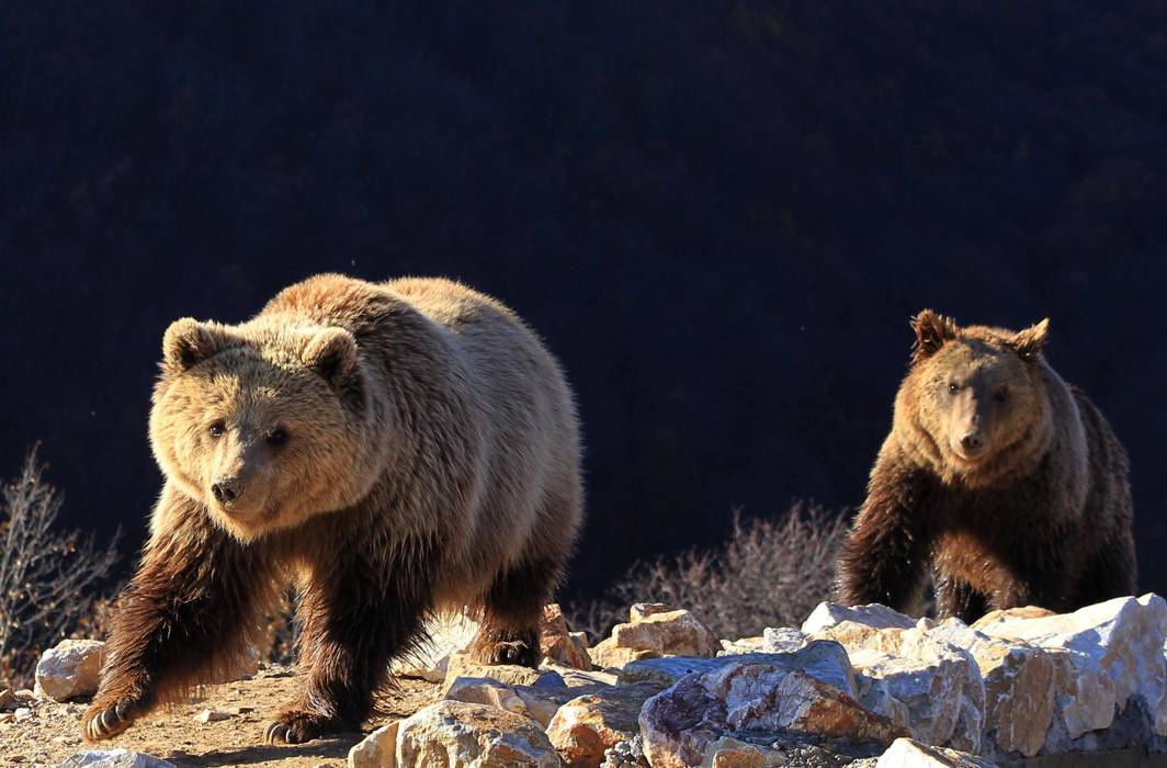 BEAR WITH US: Two bears prepare for hibernation at the Four Paws Bear Sanctuary in Pristina, Reuters/UNI