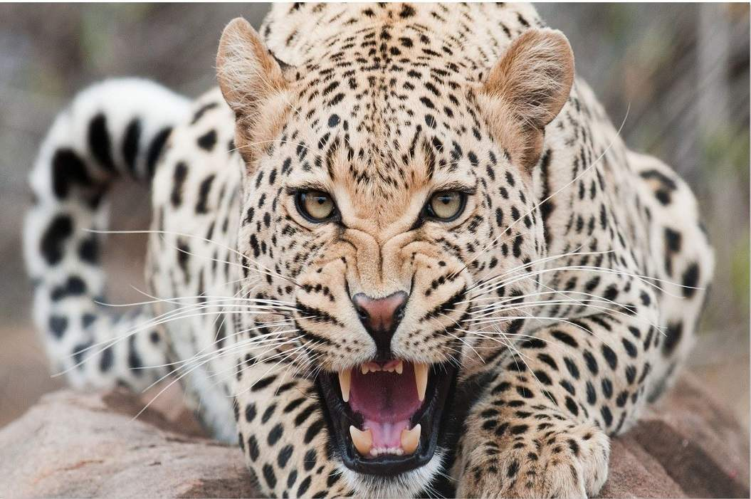 Leopard Eats Two Children In Madhya Pradesh, One Child Killed in Uttar Pradesh