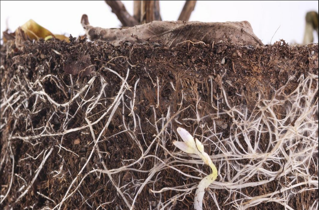 Tinkering with root hair may help boost crop yields