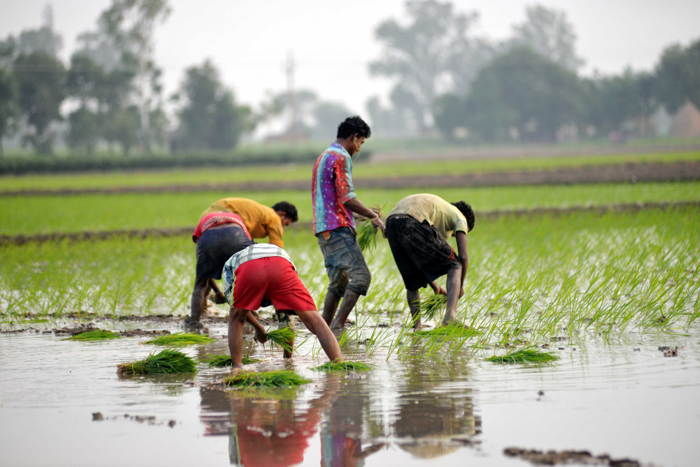 Farm workers plant paddy on a field near Mohali, UNI