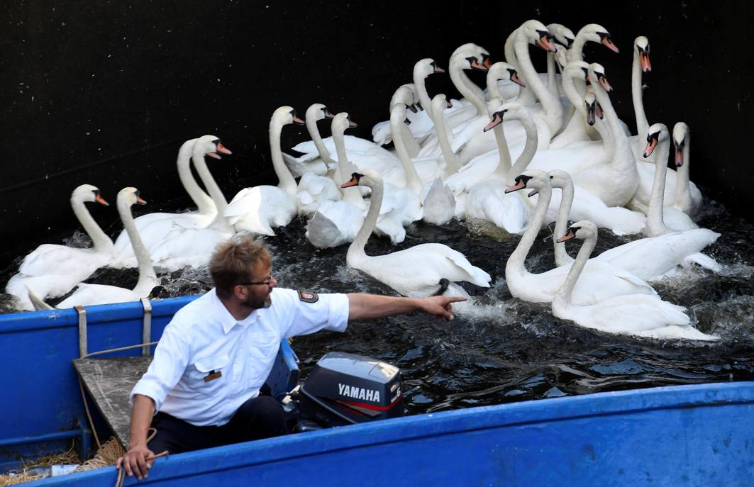Swans are caught at Hamburg's inner city lake Alster by Olaf Niess and his team to be taken to quarters where they usually spend the winter, Reuters/UNI