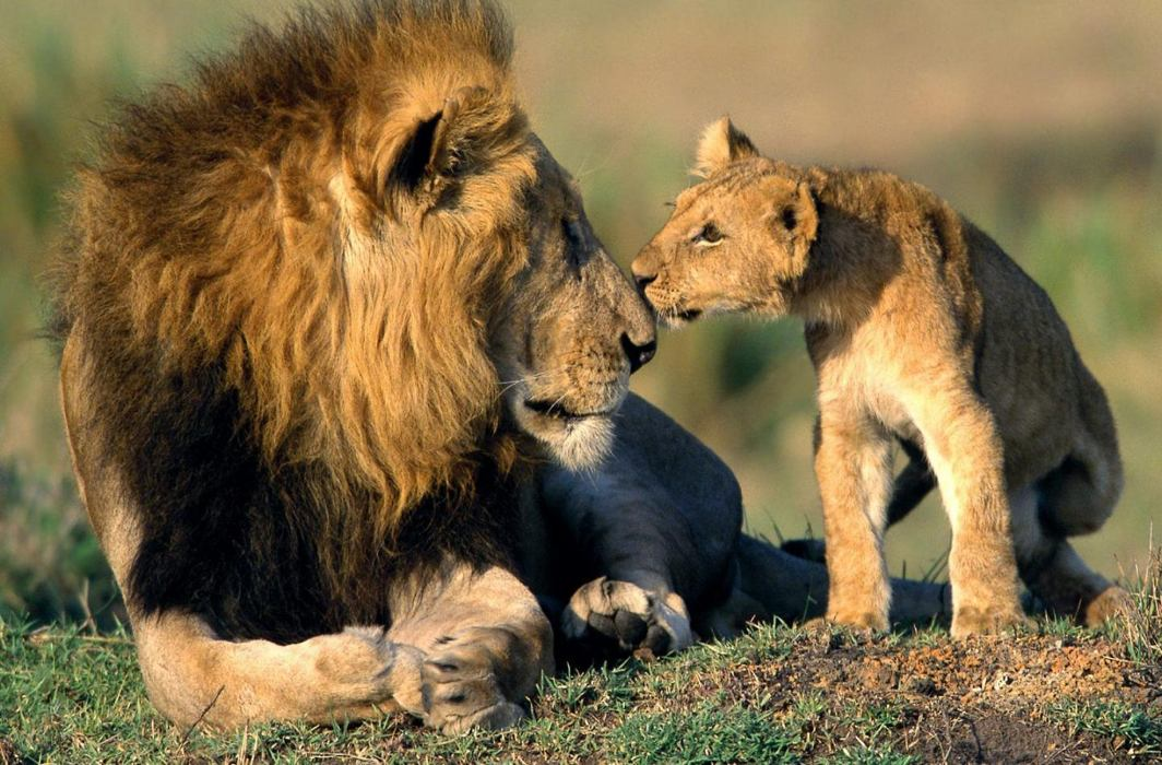 21 lions die in 19 days in Gir, disease and fights believed to be cause