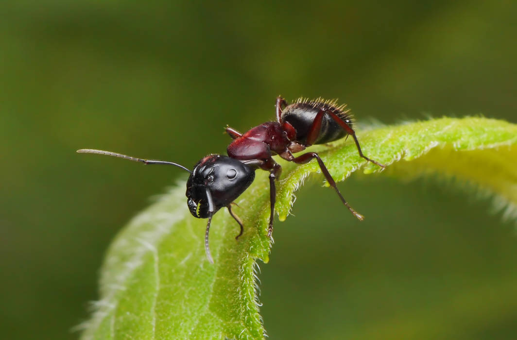 To prevent infections from spreading, ants avoid infected members within colonies