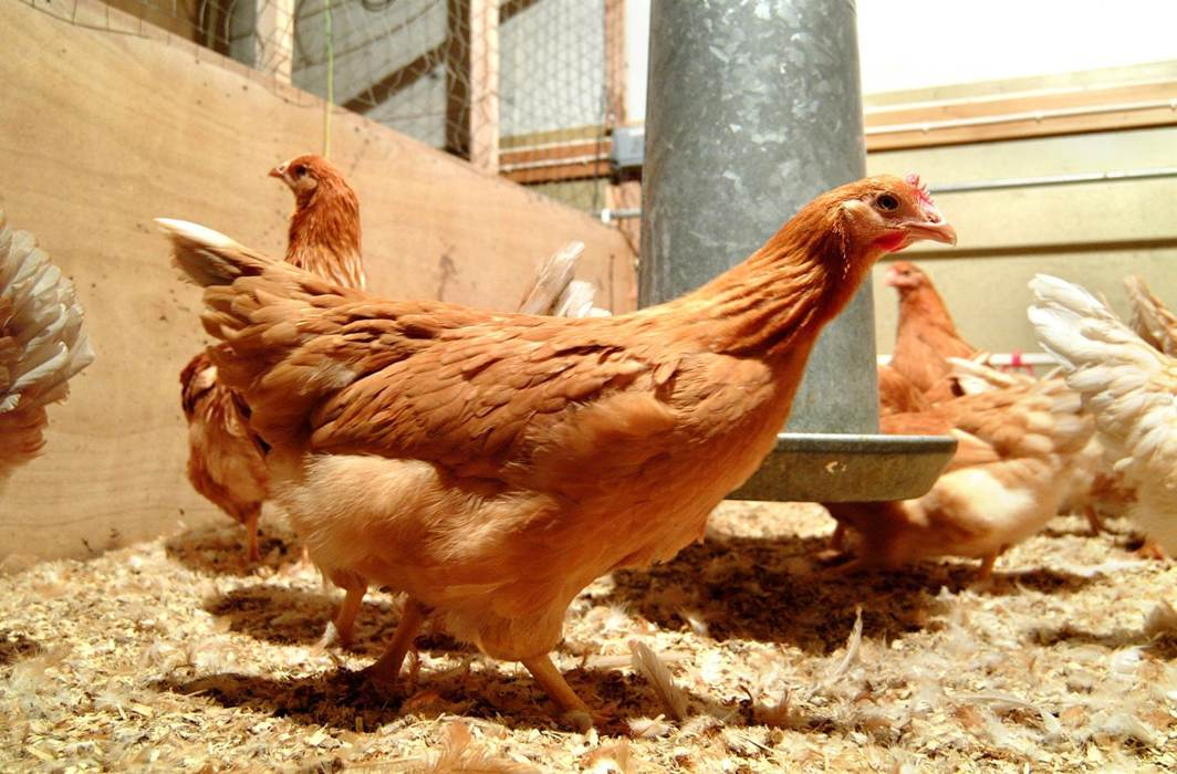 Genetically modified chickens could provide cheaper drugs