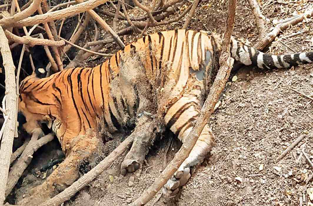 Tiger found dead in Mahisagar forest range, probe on to find cause of death