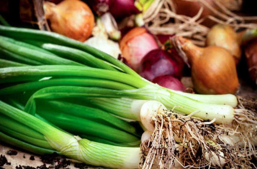 Allium vegetable