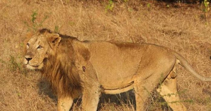 lions in Hyderabad