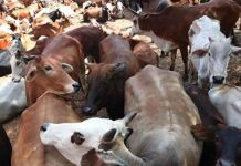 Five people have beaten in Rajasthan for cow smuggling, 1 man Killed