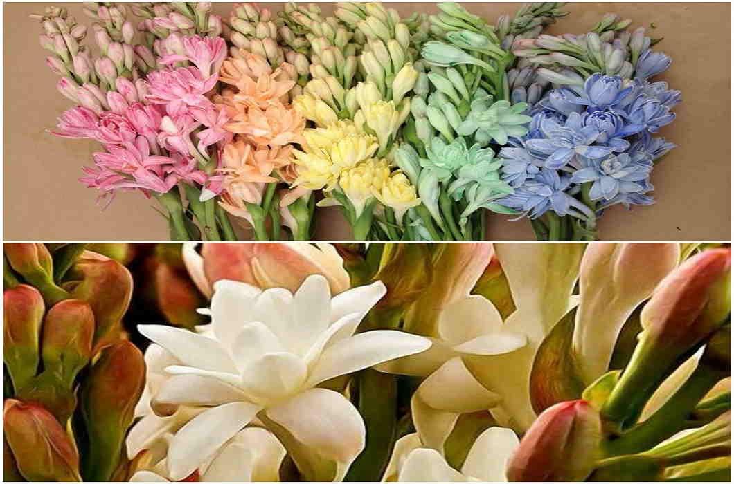 rajnigandha flowers