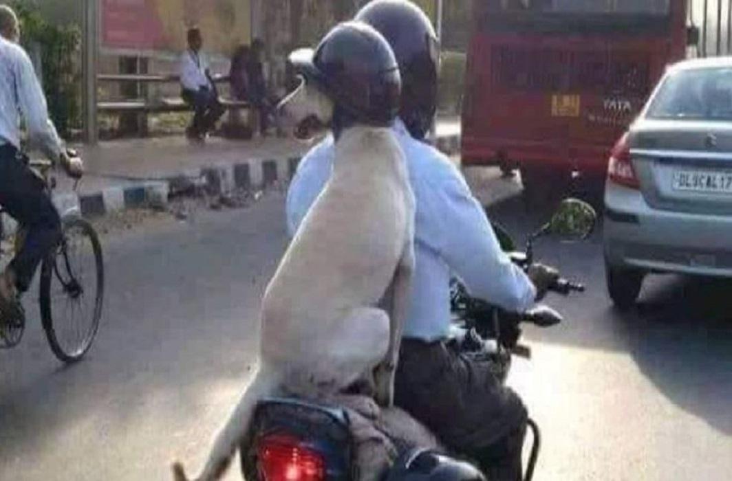 Dog Wearing Helmet