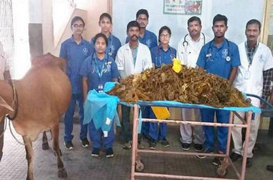 Tamilnadu Cow